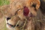 Male Lion Injured