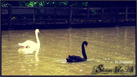 duck romantic by Shamwaah