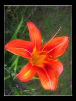Tiger Lily by GypsyMist