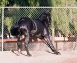HORSE STOCK - FOXTROTTER BC 06