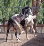 HORSE STOCK - Duke and Buddy 1