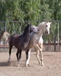 HORSE STOCK- Duke and Buddy 4