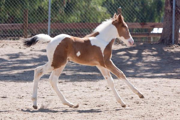 Ficha de Cantára ;) HORSE_STOCK___Foal_2_by_kittykitty5150
