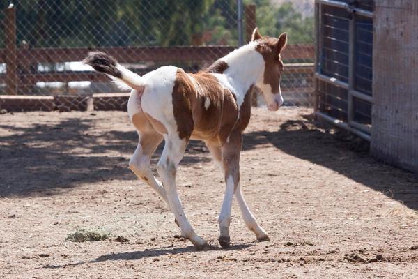 Ficha de Cantára ;) HORSE_STOCK___Foal_5_by_kittykitty5150