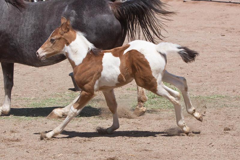 Ficha de Cantára ;) HORSE_STOCK___Foal_6_by_kittykitty5150