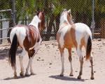 HORSE STOCK -  Pintos 5
