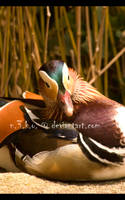 photoWORKS - Mandarin Duck 03 by n3ko
