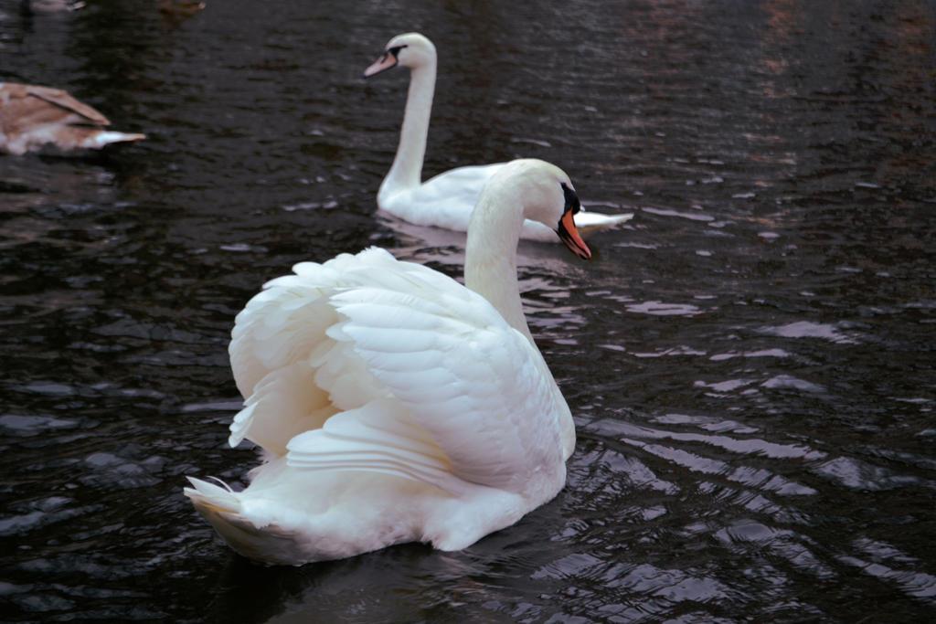 Swan by Katnam