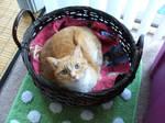 Tabby in a Basket