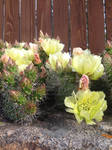 Cactus Flowers by ElkStarRanchArtwork