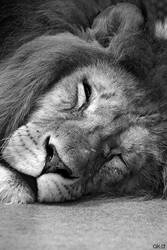 Zoo Duisburg - Lion by Mob1