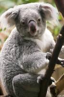 Koala by Mob1