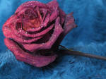 Rose d'hiver by Melusine8