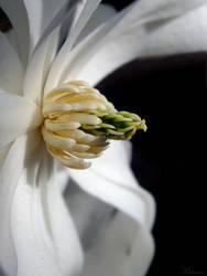 L'essence, magnolia soul