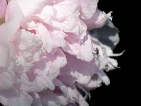 Lost In the peony petals