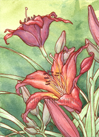 Daylily ACEO study by thedancingemu