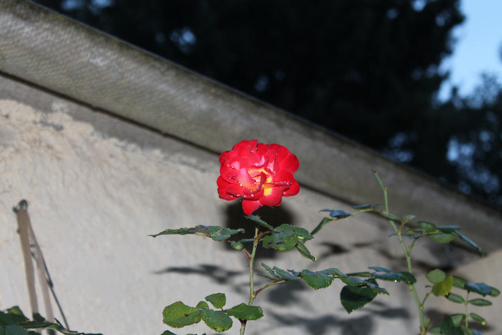 Red rose by AnneSoLand