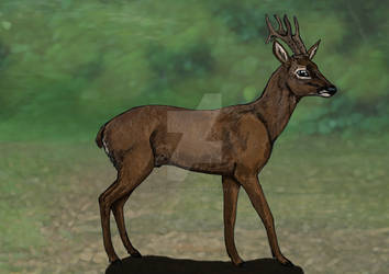 A Roe Buck called Rufus