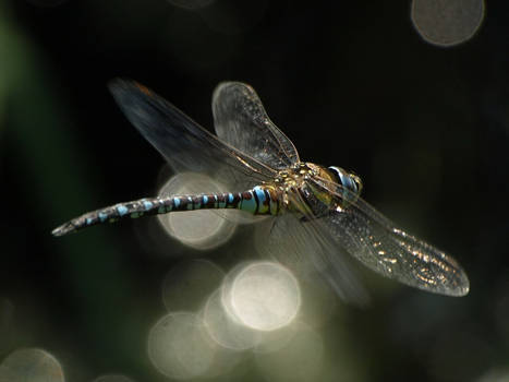 September 4th Southern Hawker