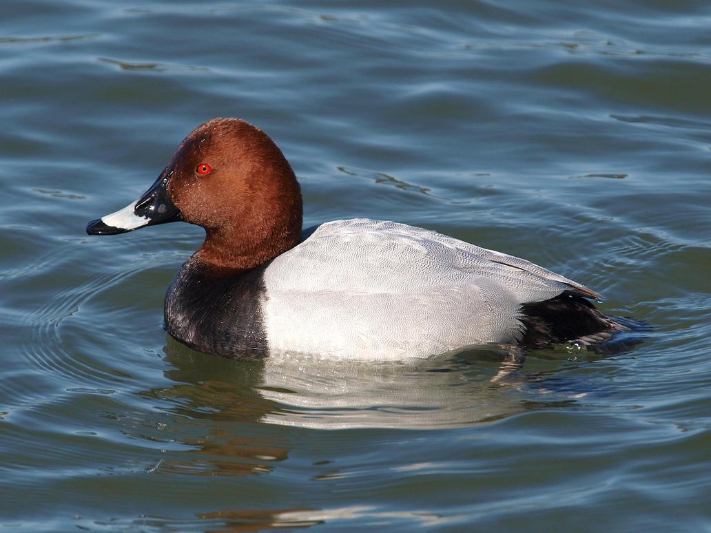 April 6th, Redhead Duck by Taliesin-Neonblack