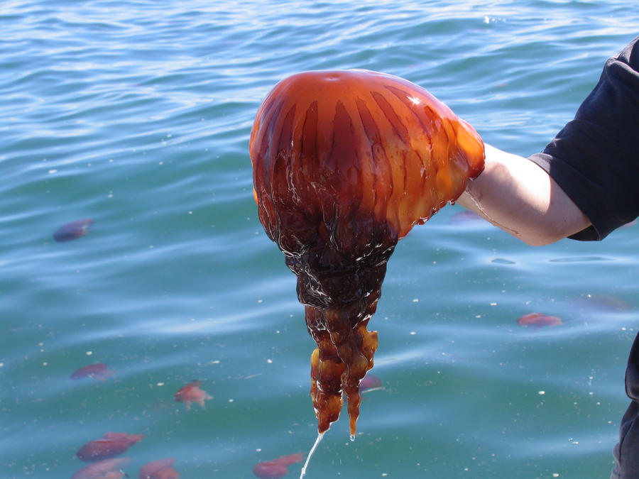 Red jellyfish by MaryT...