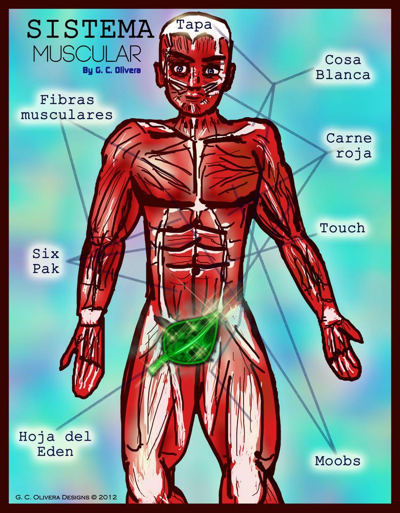 Sistema Muscular by olivegc on DeviantArt