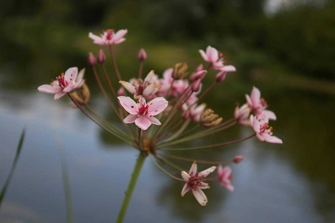 Flower 8 (Butomus umbellatus)