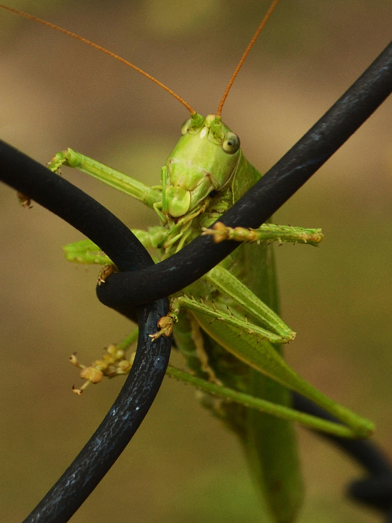 Locust by Roky320