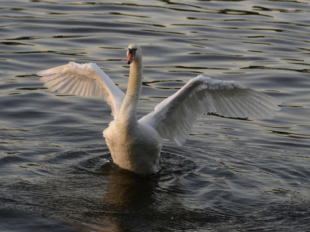 Swan by Roky320