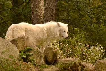 White Wolf by Roky320
