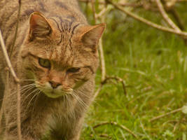 Wild Cat by Roky320