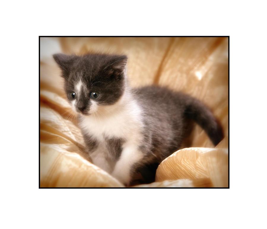 Kitten 2 by PicTd