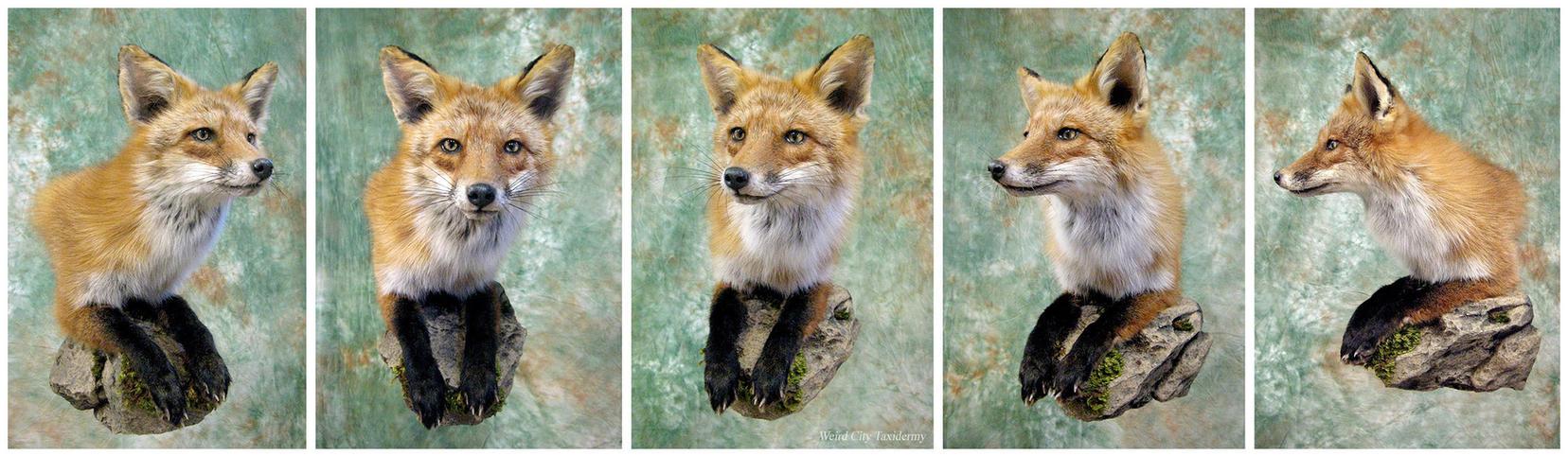 Red Fox on the Rocks by WeirdCityTaxidermy