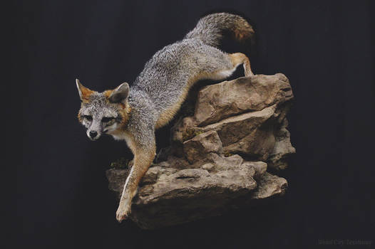 Gray Fox on the Rocks (1)