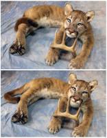 Cougar Soft Mount (1) by WeirdCityTaxidermy