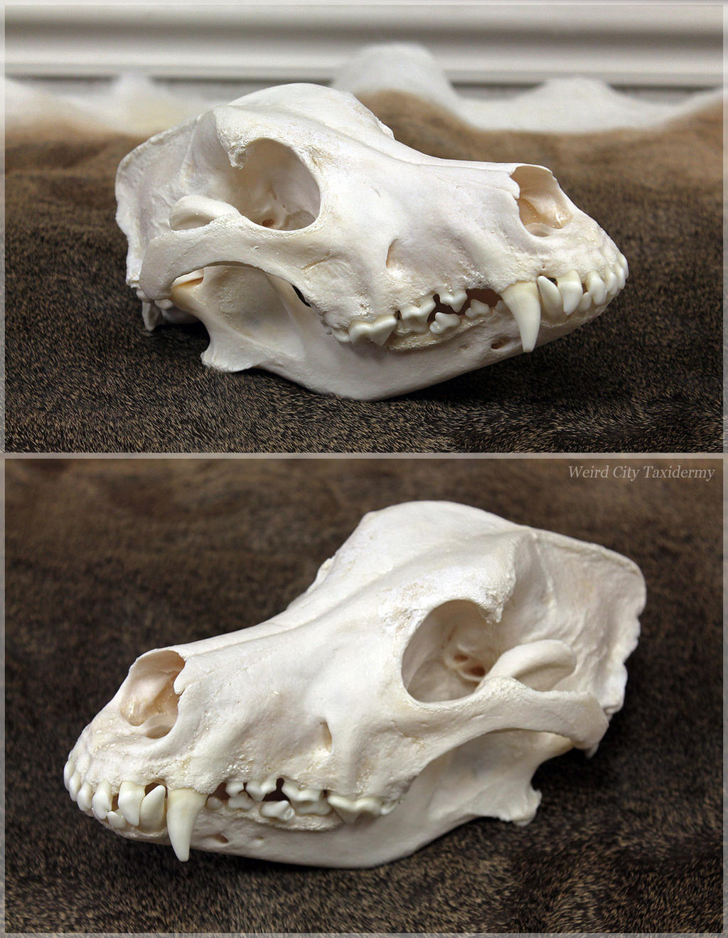 Wolfdog Skull by WeirdCityTaxidermy