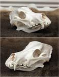 Wolfdog Skull