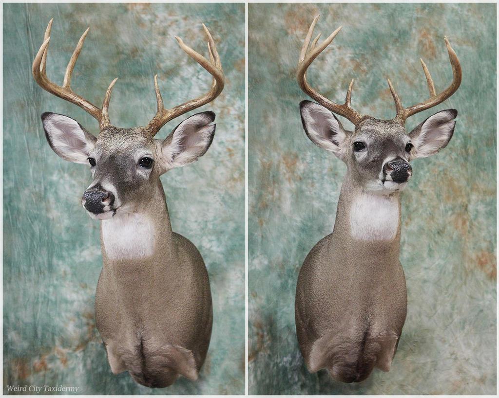 Brackmeyer Buck by WeirdCityTaxidermy