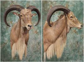 Aoudad (Barbary Sheep) by WeirdCityTaxidermy