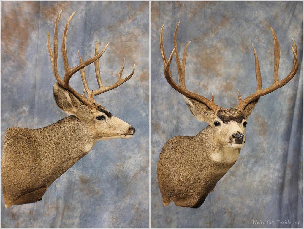 Medford Mule Deer 2016 by WeirdCityTaxidermy