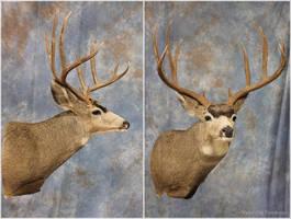 Medford Mule Deer 2016