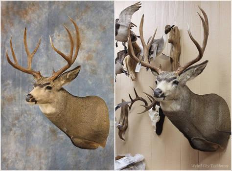 Till Mule Deer 2016