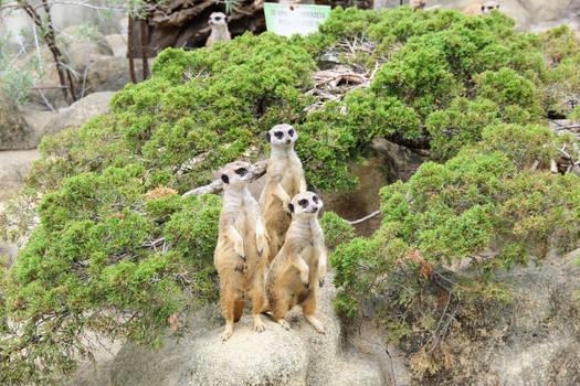 Standing, standing meerkats