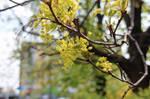 LIttle maple flowers
