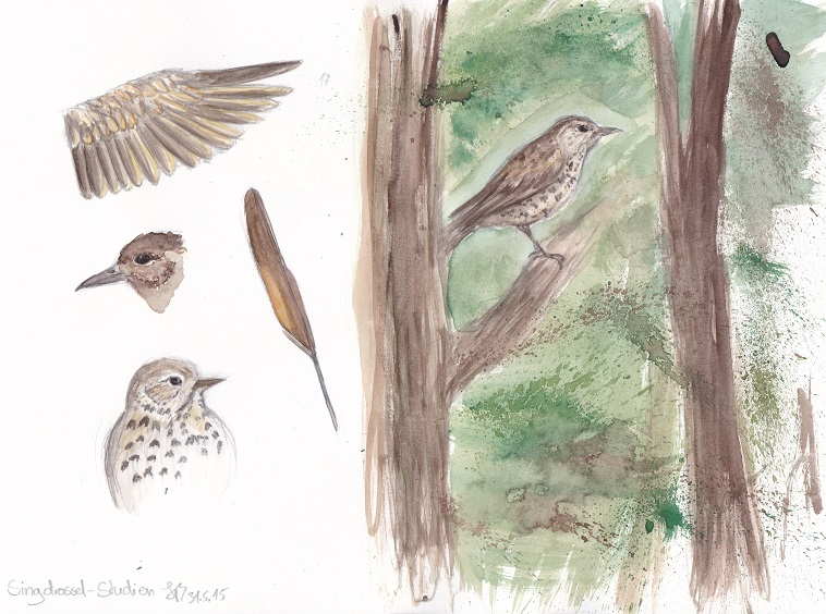Songthrush studies by crazy-fruit