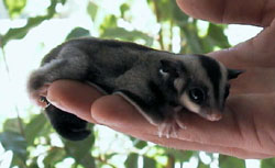 Sugar Glider by Jadestergrl