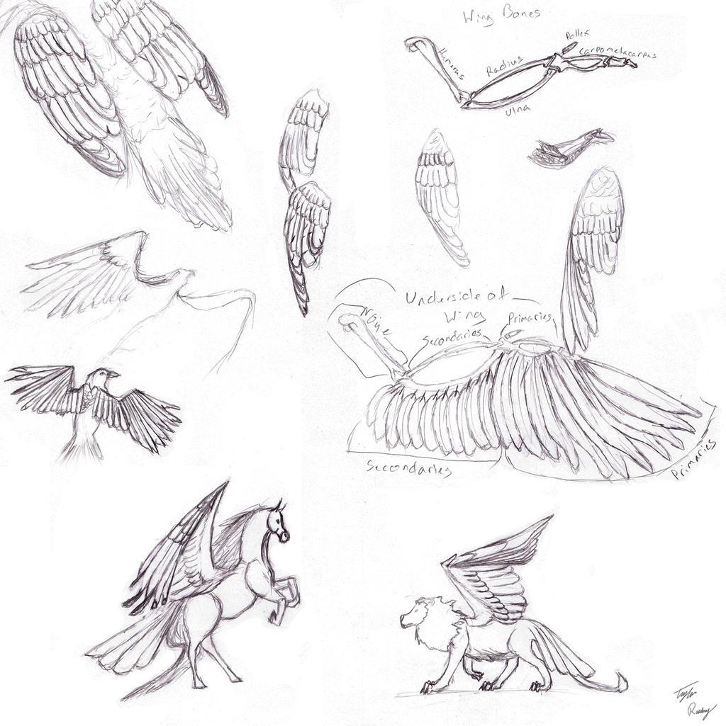 Bird Wing Sketch Dump by Kivusa on DeviantArt