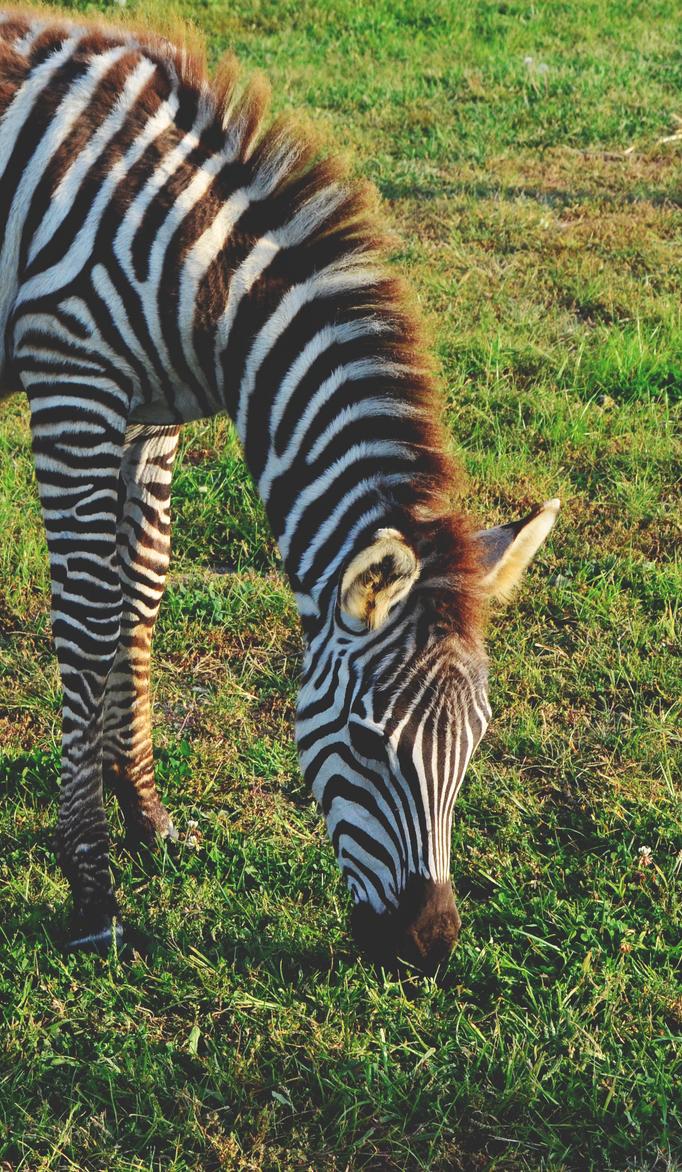 Zebra by TheSmallQueen