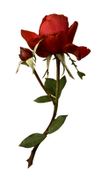 Red Rose Stock