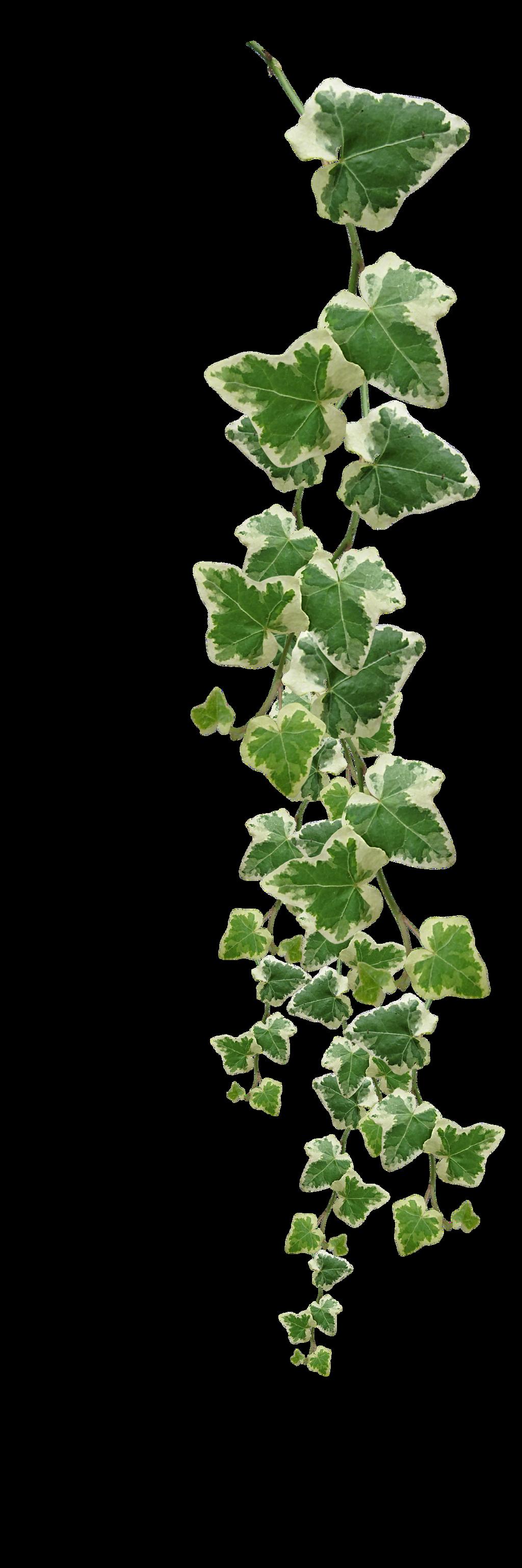 green vine STOCK